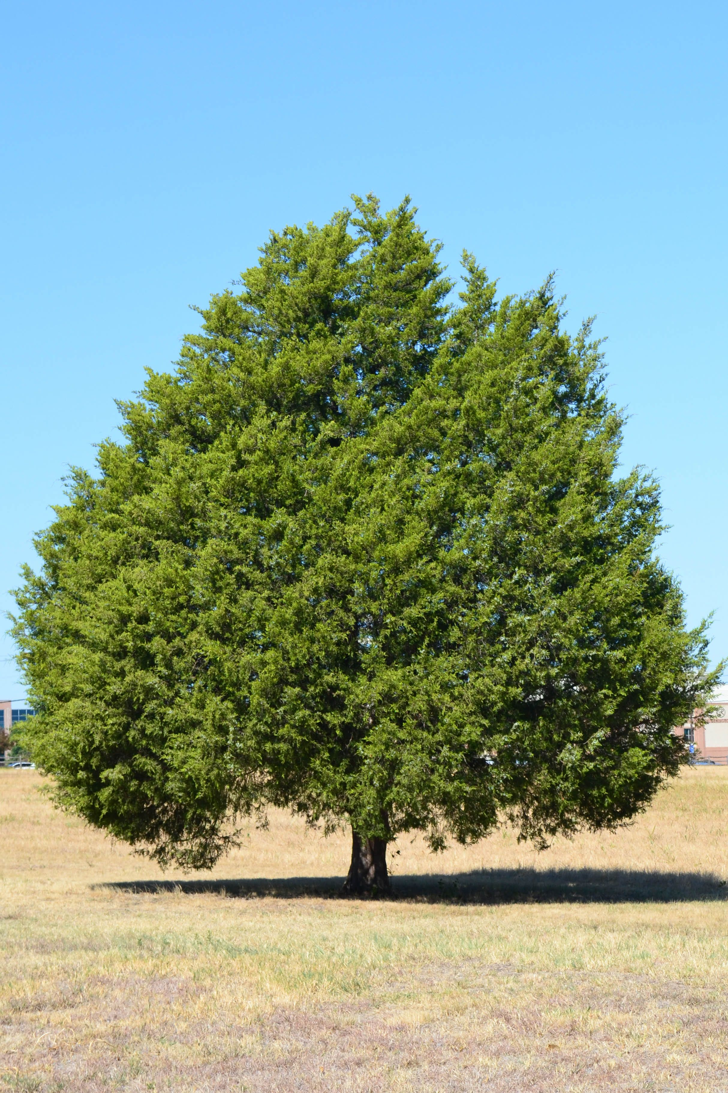 Cedar eastern red ashe juniper
