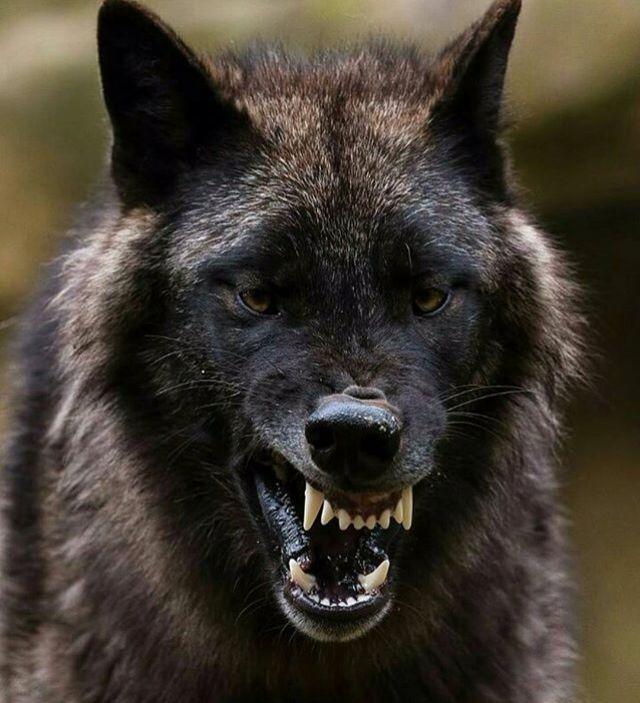 What's happened ...twisted mouth ,poor thing . | WOLVES ...