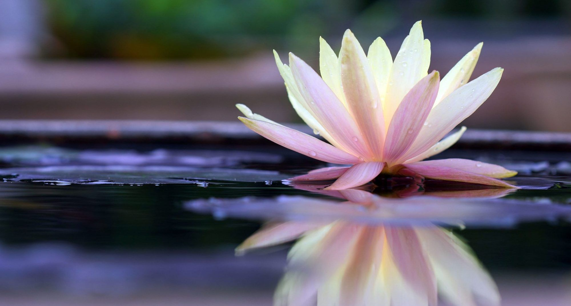 Song to the White Lotus 白蓮歌 Lotus, Flowers, Spirituality