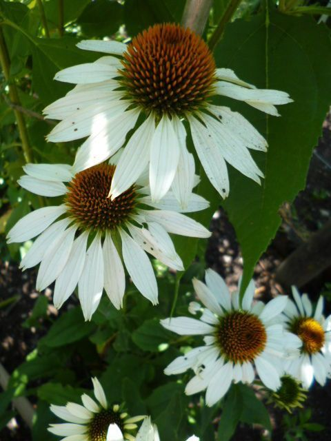 Photo of Echinacea plant How to grow & care