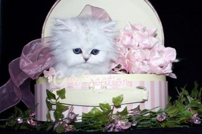 Teacup Persian kitten for sale in South Florida. | Adorable Teacup ...