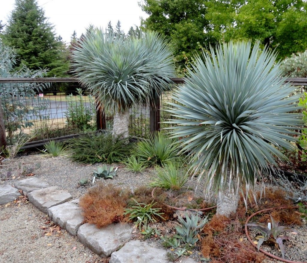 Yucca rostrata - Nice substitute for palm trees in zone 9a ...