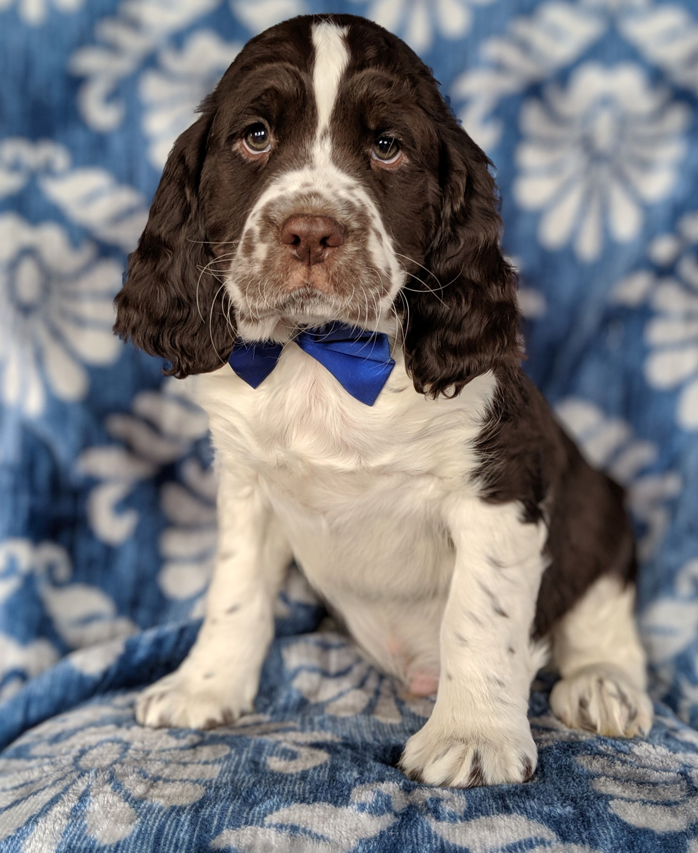 Relaxed Englishspringerspaniel English Springer Spaniel Puppy Springer Spaniel Puppies Spaniel Dog