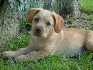 Adopt Soldier Boy on | Wire haired terrier, Terrier mix and ...