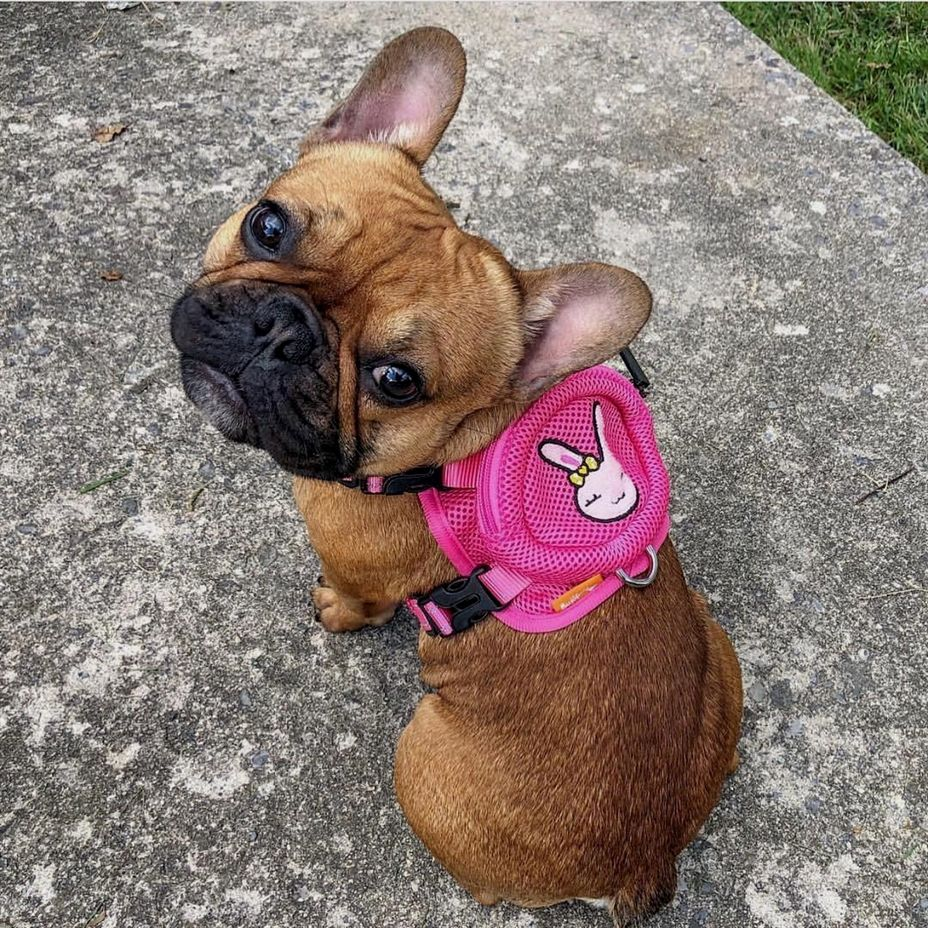 No One Wears Pink Better Than Me French Bulldog Puppies
