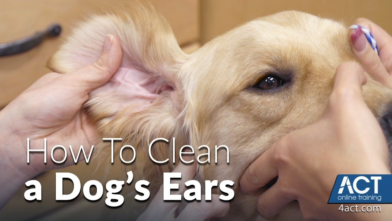 Are you cleaning your dog's ears properly? Check out this