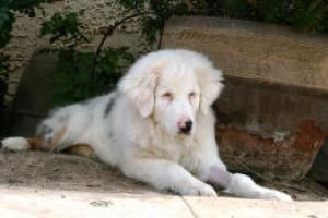 Adopt Garrett On Australian Shepherd Dogs Australian Shepherd Cat Colors