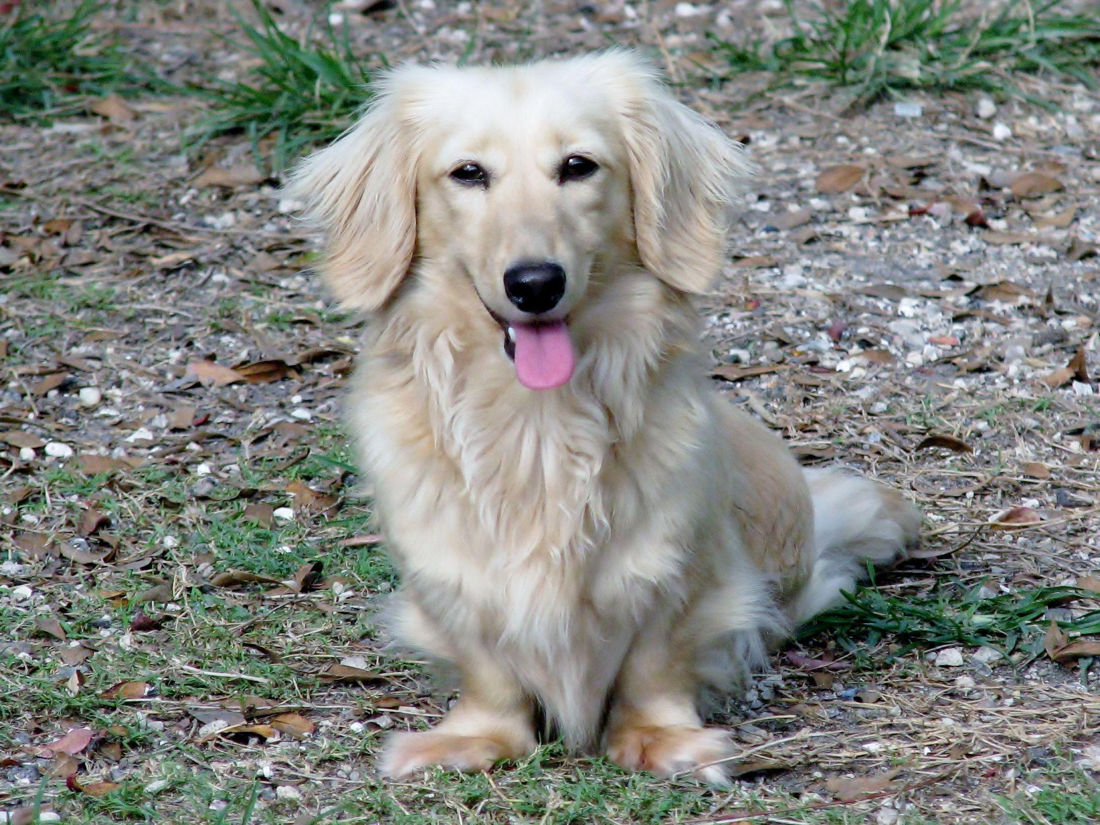 Summer, cream long haired mini dachshund. Mini dachshund