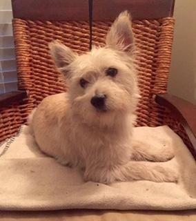 Adopt Neon Hitch On Petfinder Terrier Mix Breeds Animals Westie Terrier