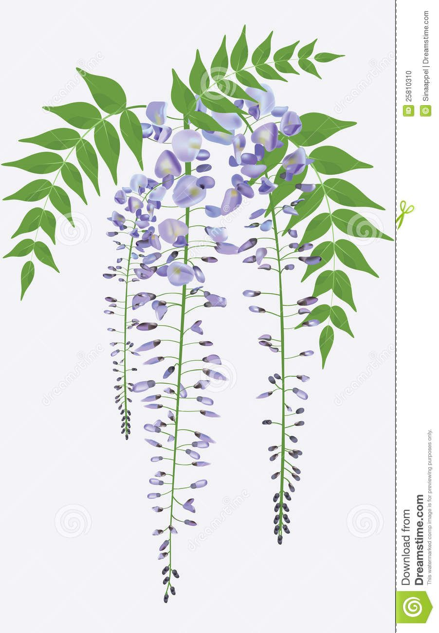 Blooming Wisteria With Leaves, Vector Stock Photo - Image: 25810310