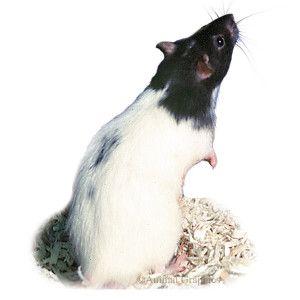 Female Fancy Rat Live Small Pets Petsmart Fancy Rat Small Pets Pets