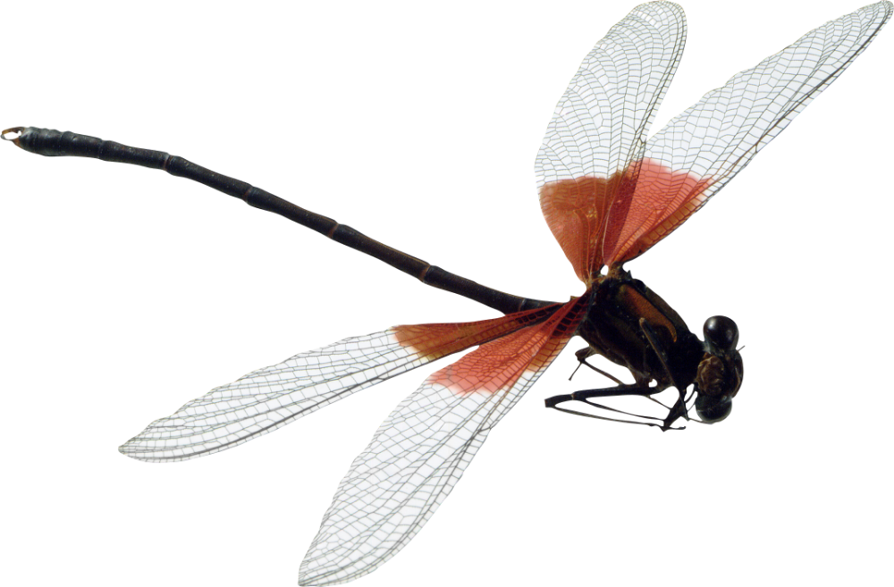 Dragonfly Png Image Purepng Free Transparent Cc0 Png Image Library Dragonfly Insect Clipart Png Images