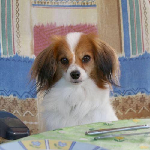 Pretty Phalene Papillon Kleine Hunde Chihuahua Shih Tzu