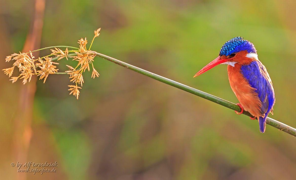 Malachite Kingfisher - Alf Drosdziok Photography