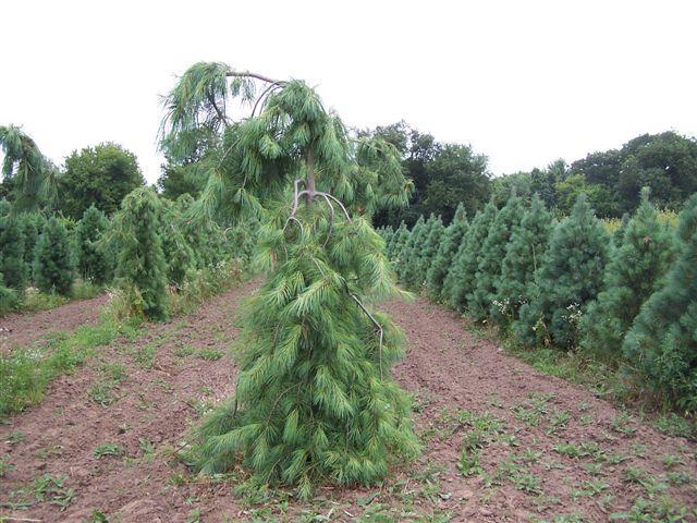 Blue Totem Spruce Tree Pinus Strobus Pendula