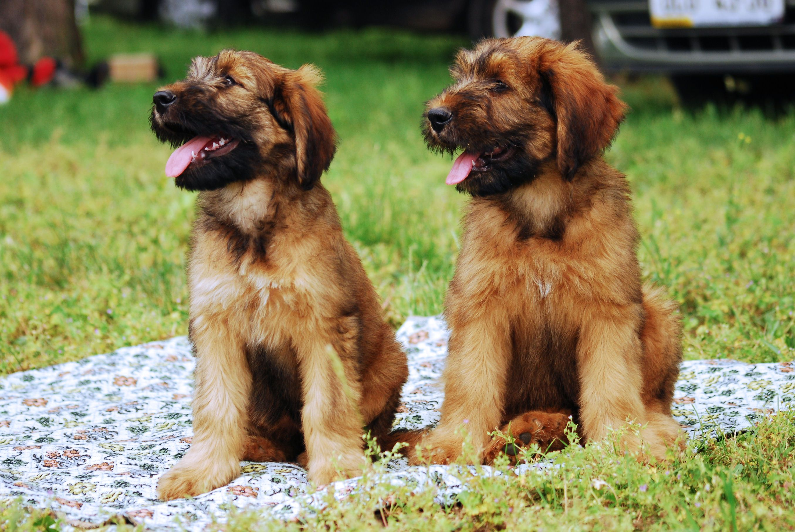 Baby Animals Are The Best Kind Of Animals Briard Dog Briard Puppies Dogs