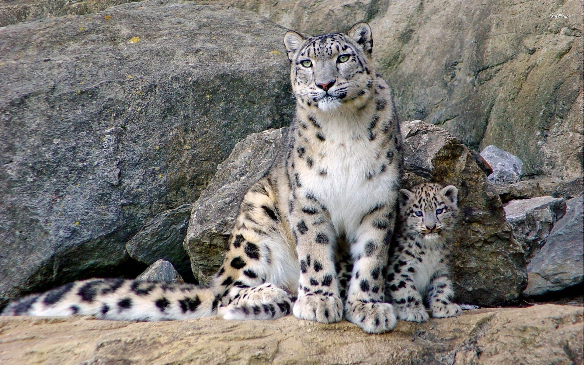 snow leopard with cub animal hd desktop wallpaper leopard wallpaper cub wallpaper animals no