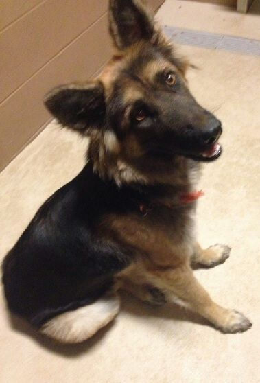 Adopt A Dog A Cairn Terrier Mix And A Shiloh Shepherd Dog