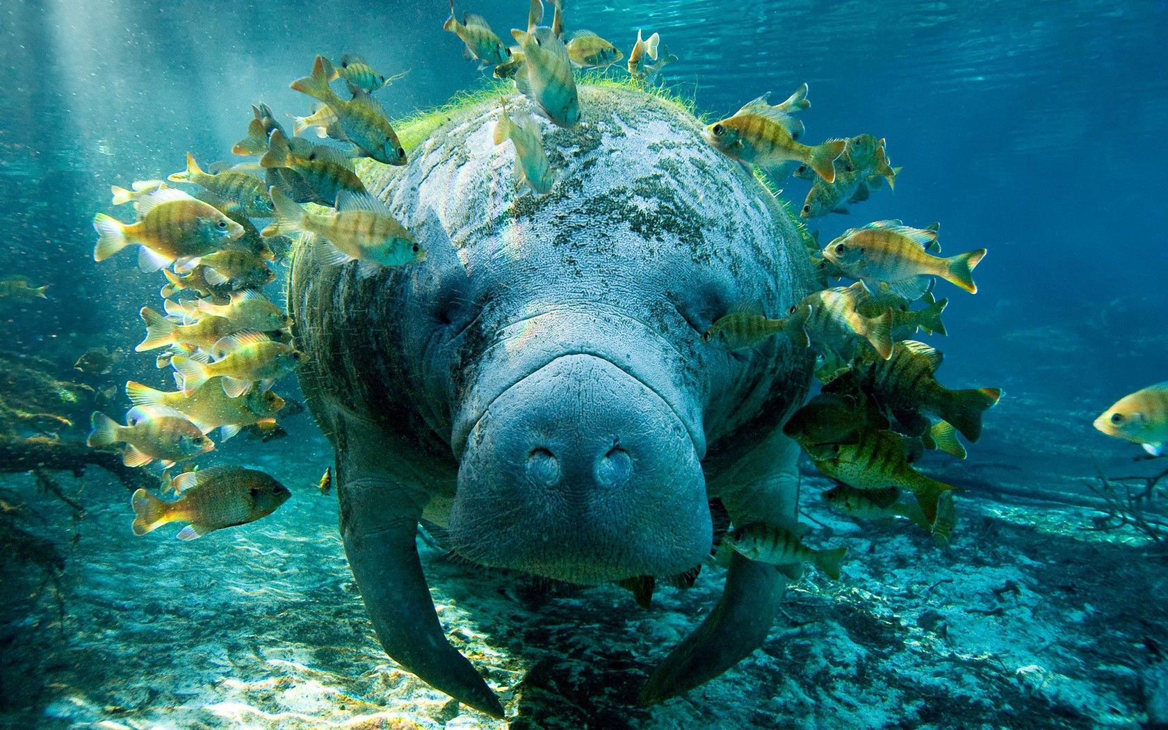 Noise Levels threaten Manatees and other Marine Life