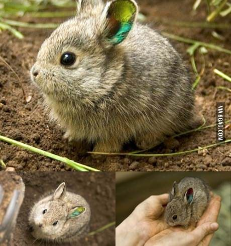 meet the smallest rabbit in the world the quotpygmyquot rabbit