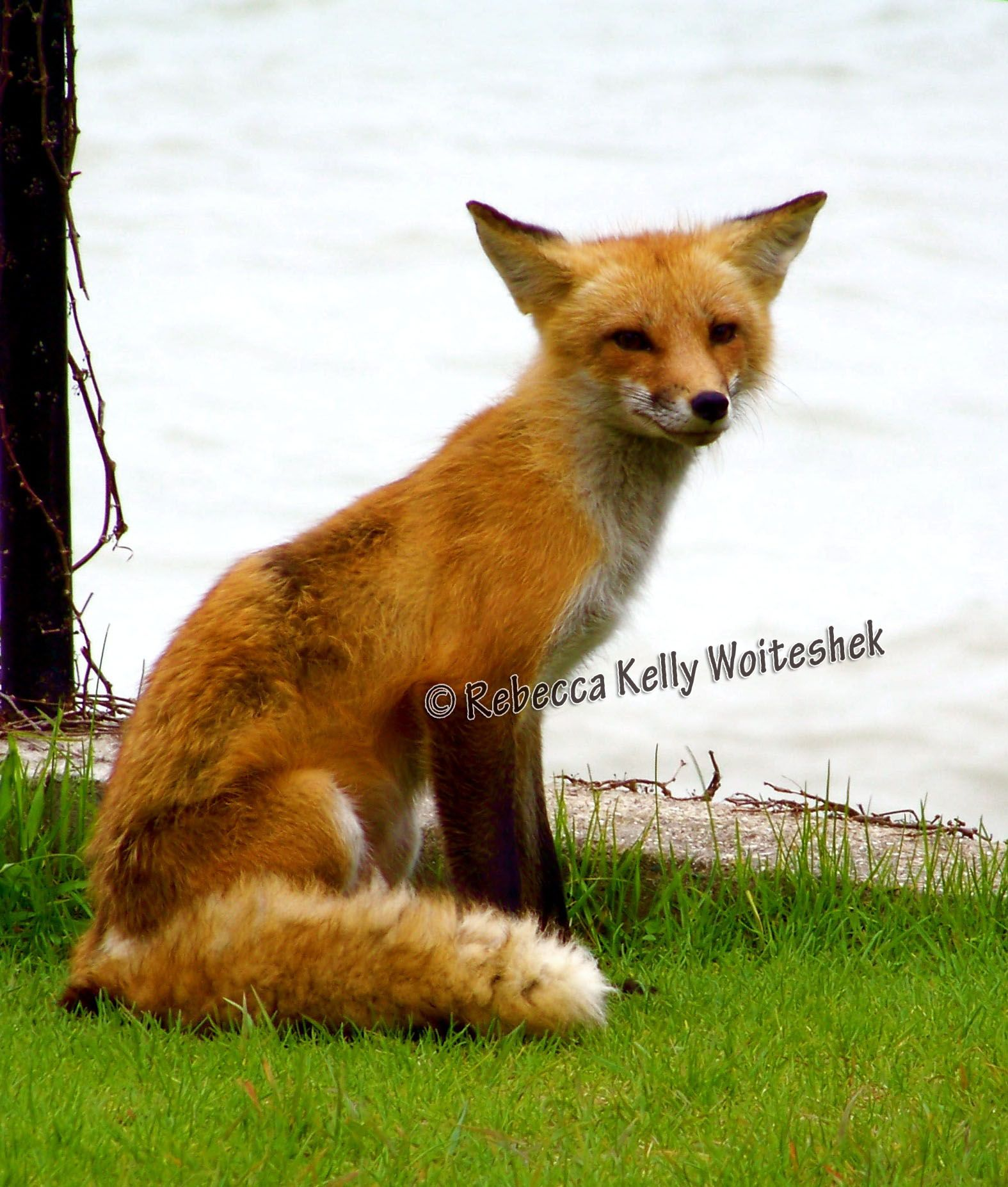 Pictures Of Foxes In Michigan