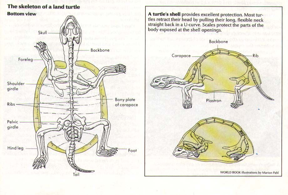 diagram turtle s head generator remote start wiring skeleton reptiles amphibians tortoises