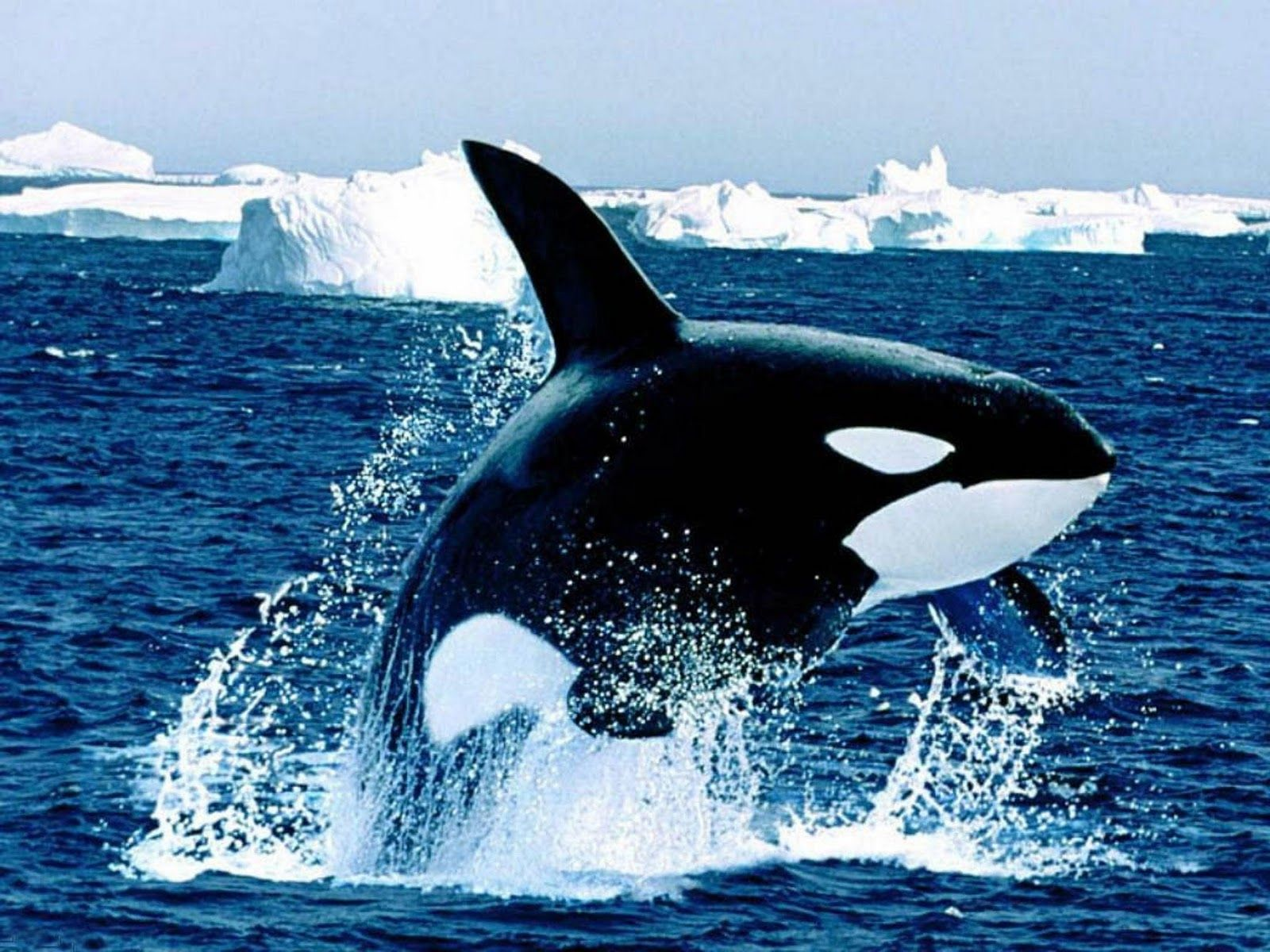 Killer whales pictures orca wallpapers hd photos killer pictures orca wallpapers hd photos killer whales wallpaper 13g altavistaventures Gallery