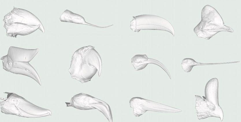 Bird beak evolution traced