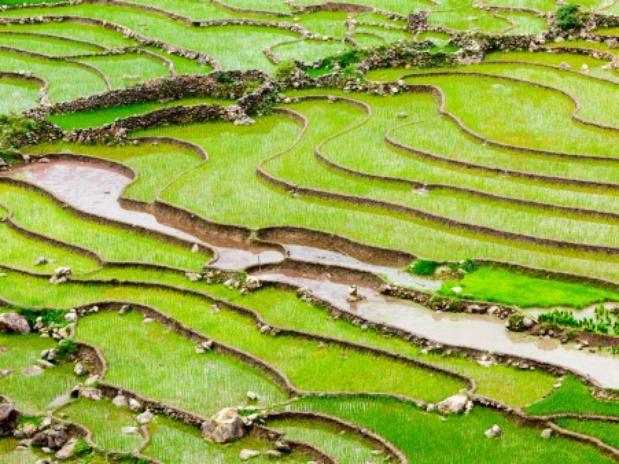 Campos De Arroz En Vietnam En El Poblado De Ta Van En El