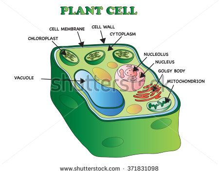 Basil plant cell diagram residential electrical symbols illustration of an plant cell flash biology pinterest plant cell rh pinterest com plant cell diagram ccuart Image collections