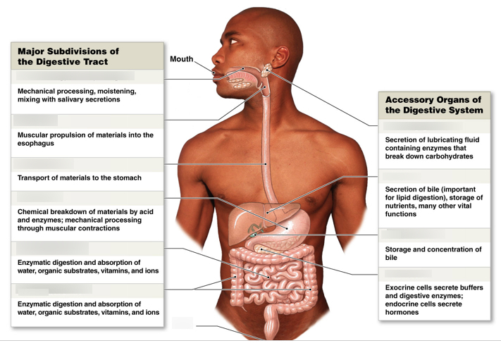 The Digestive System Diagram Quizlet 711x487 Png Digestive System Digestive System Diagram Human Body