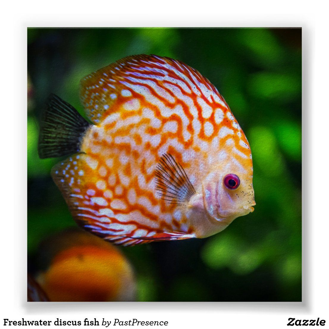 Freshwater Discus Fish Poster Zazzle Com In 2020 Discus Fish Salt Water Fishing Discus