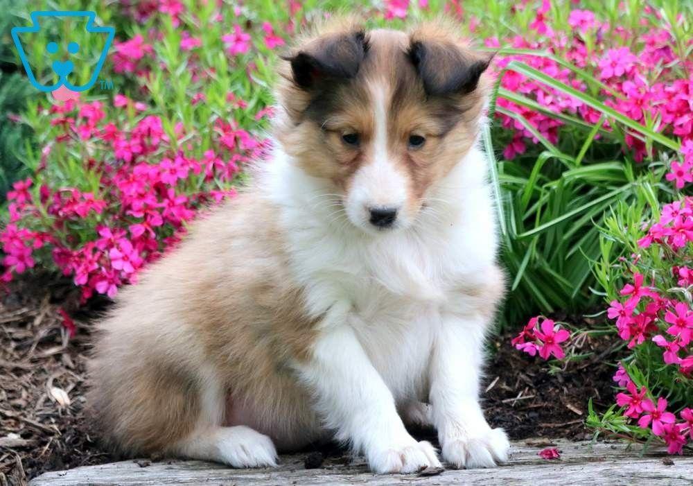 Maddie shetland sheepdog sheltie puppy for sale