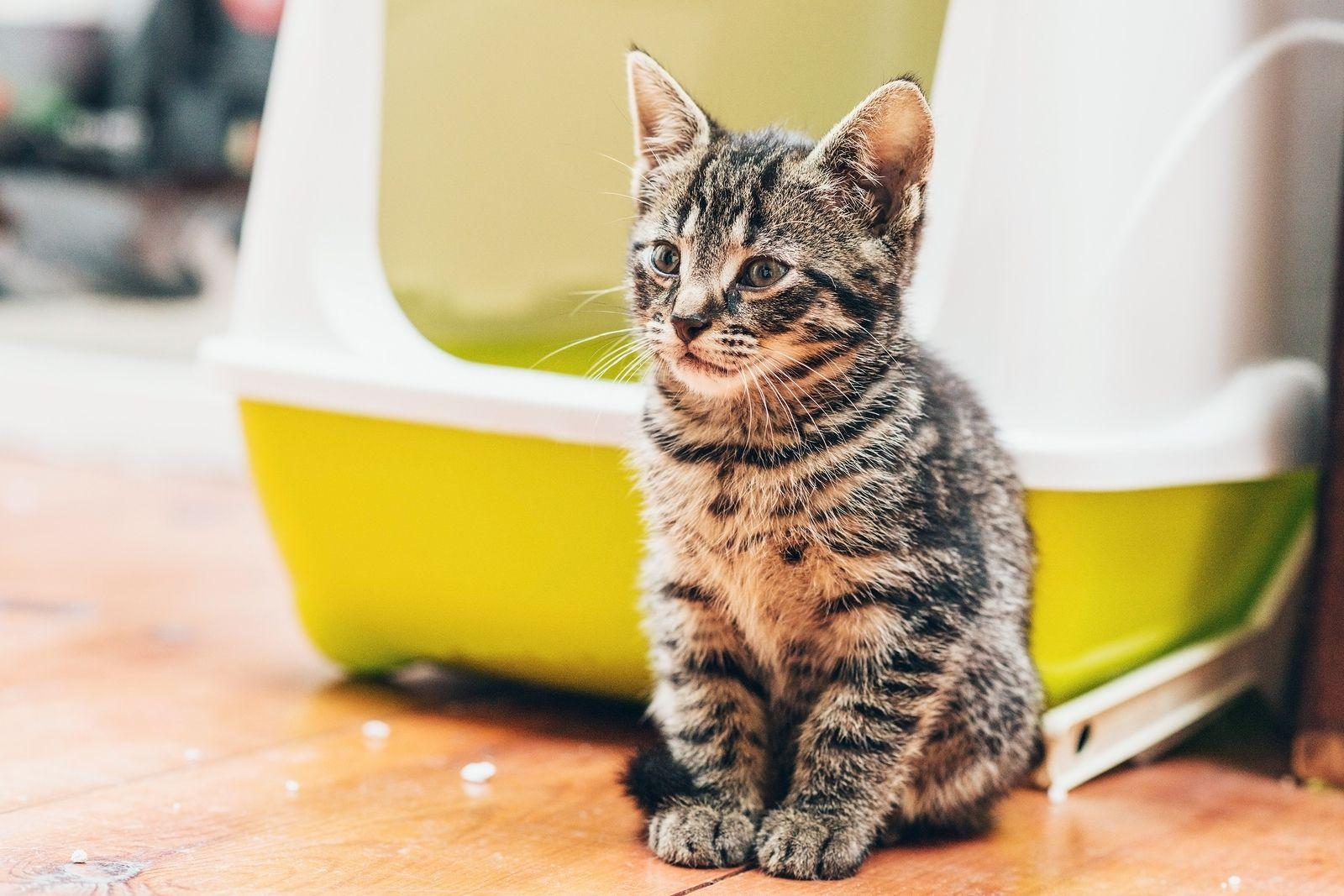 Training Your Kitten To Use The Litter Box Hill S Pet In 2020 Natural Cat Litter Best Cat Litter Cat Litter