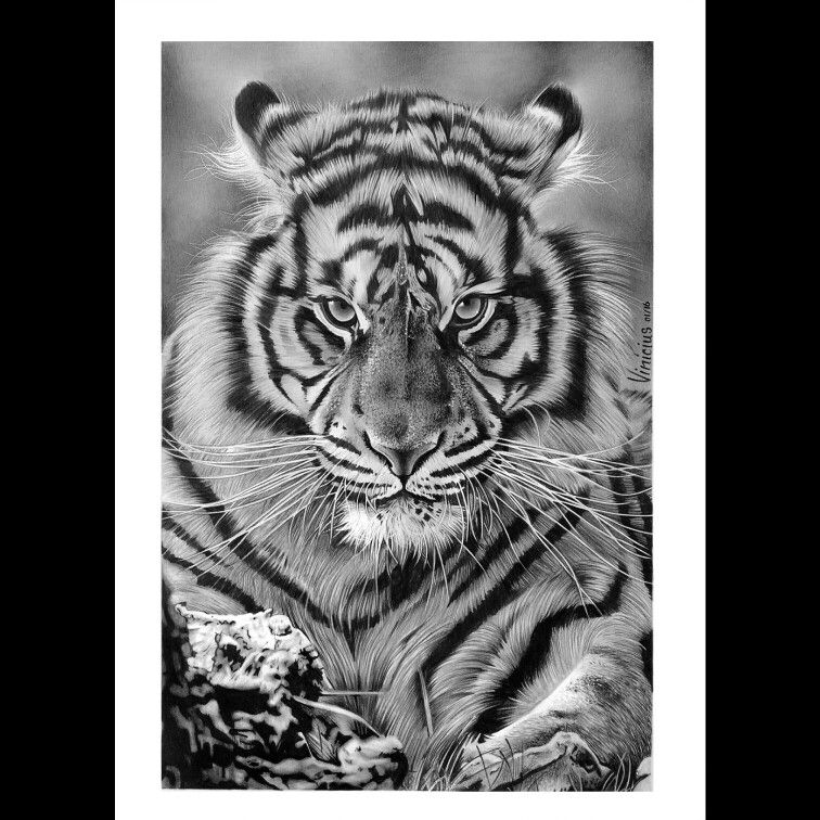 Tiger, #viniciusrafaellemos #drawing #desenho #grafite #drawingrealistic #desenhorealista #viniciusrlemostattoo #desenhoA3