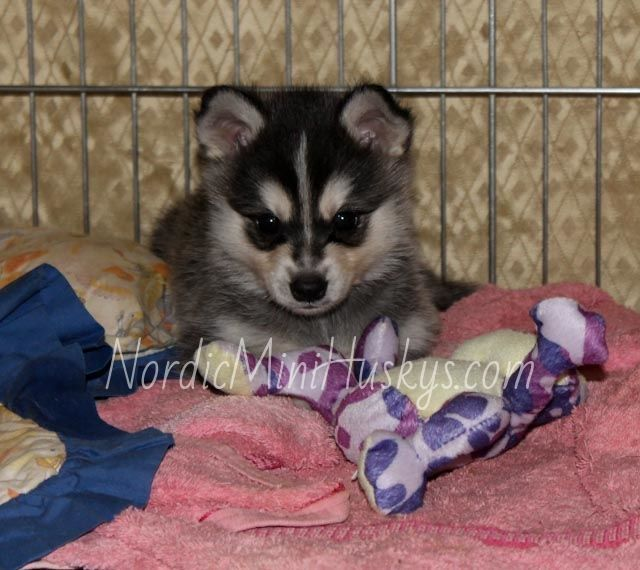 Meet the Alaskan Klee Kai, a breed of miniature husky! Recognized by UKC and Arba, they are an official breed. Not a Pomsky! #miniaturehusky Meet the Alaskan Klee Kai, a breed of miniature husky! Recognized by UKC and Arba, they are an official breed. Not a Pomsky! #miniaturehusky Meet the Alaskan Klee Kai, a breed of miniature husky! Recognized by UKC and Arba, they are an official breed. Not a Pomsky! #miniaturehusky Meet the Alaskan Klee Kai, a breed of miniature husky! Recognized by UKC and #miniaturehusky