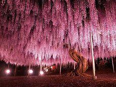 150-летнее дерево глицинии, Япония
