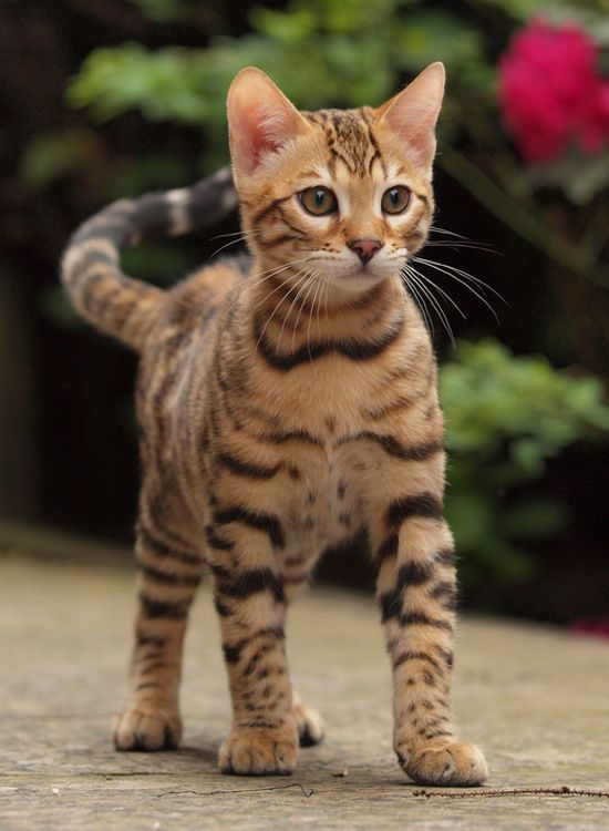 Bengal Wut S Wrong Wif Takin De Law Into Yer Own Paws Mine Be