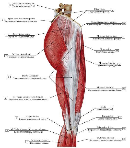 Мышцы правого бедра, вид сбоку: 1 Gastrocnemius; 2 Fibularis longus ...