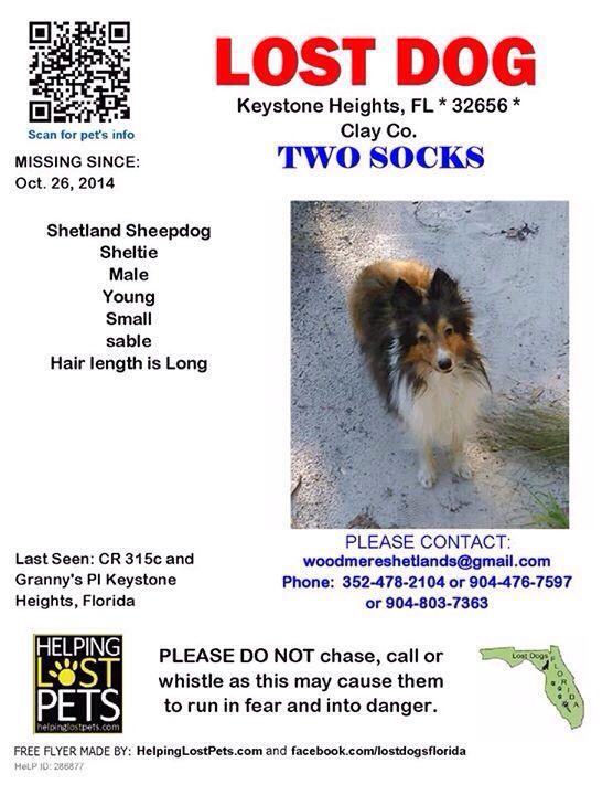 Stolen Two Socks Lostdog 10 26 14 Keystoneheights Fl Shetlandsheepdog Sheltie Sable Male 352 478 2104 Https Www Facebo Losing A Dog Sheltie Find Pets