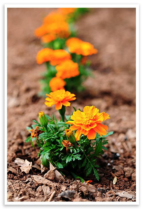 Marigolds In The Garden For Pest Control And Beauty Yard And Garden Pinterest Marigold