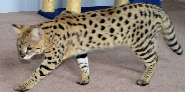 Savannah Kittens Amanukats Savannah Kittens For Sale Ohio Breeder Savannah Kitten Large Cat Breeds Bengal Kittens For Sale