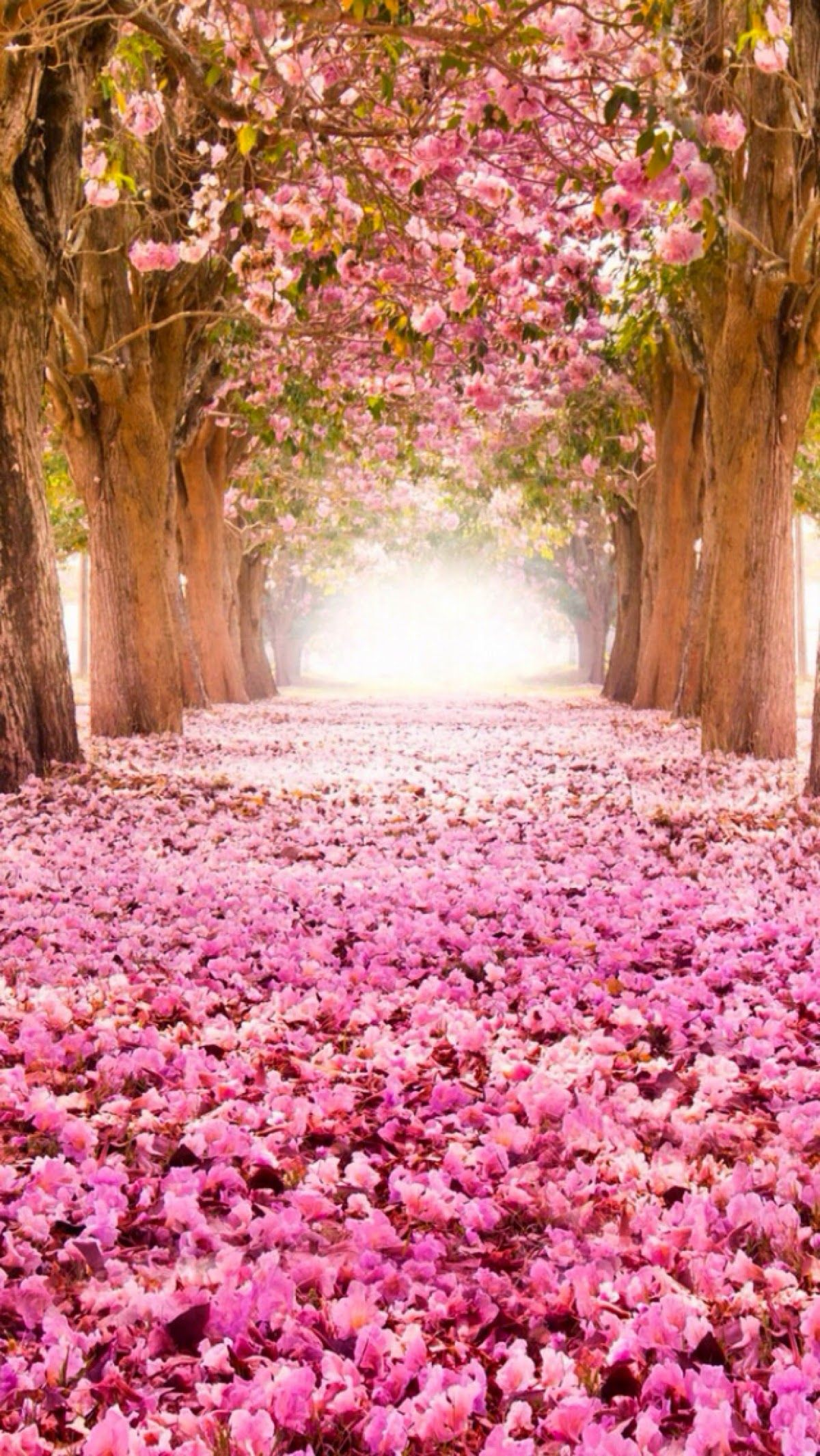 Flower Tree Live Wallpaper Icon Cherry Blossums Cool Pics