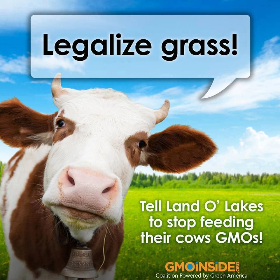 Cows should be eating grass not GMO grains! GMO corn, soy