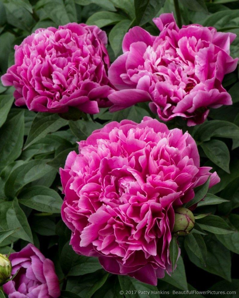 Peonies At The New York Botanical Garden Ii Peonies Fragrant Flowers Flowers