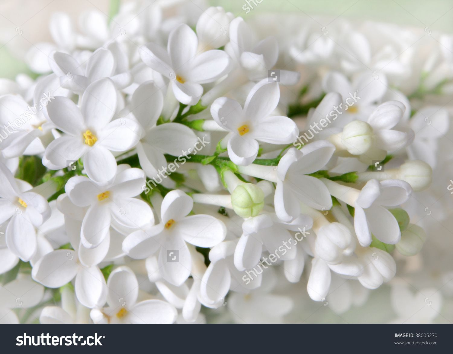 white lilac flowers closeup stock photo 38005270 shutterstock