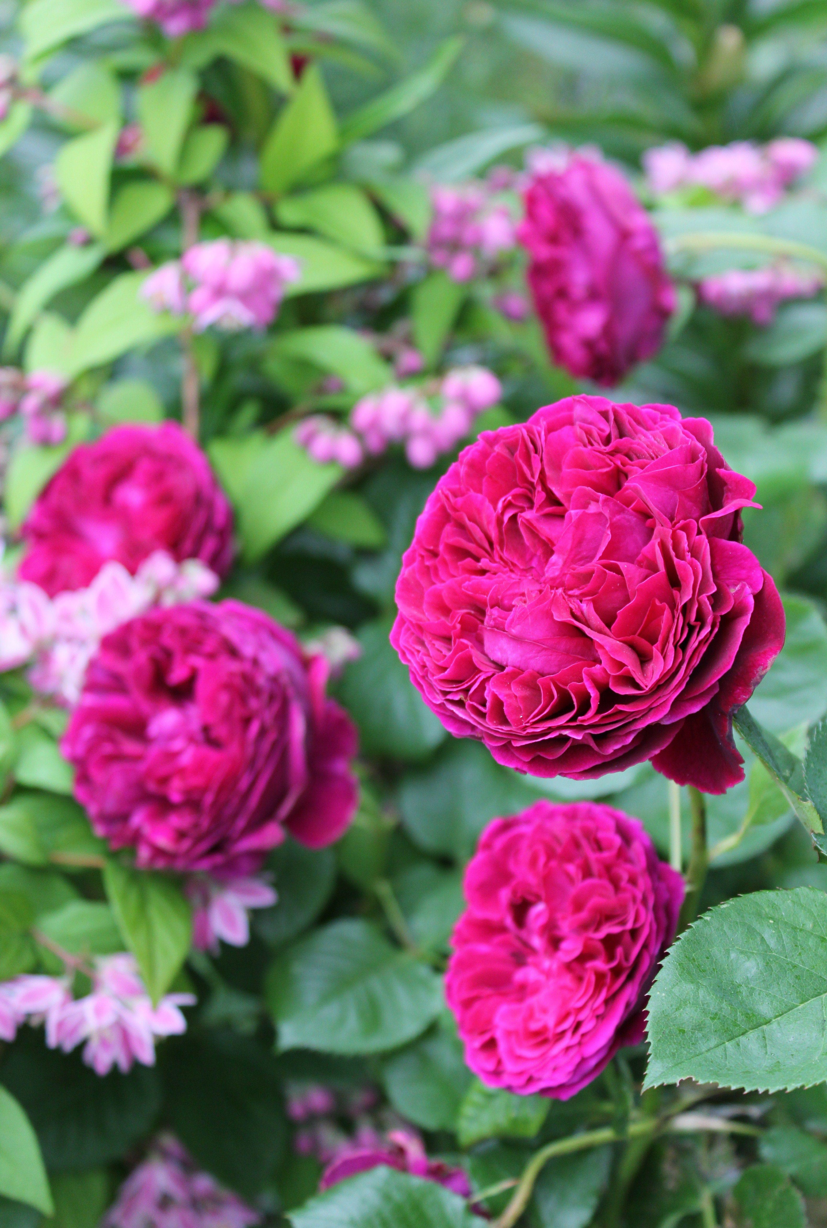 Остин создал розы имеющие вид, а часто и аромат старинных роз, но при этом по качеству соответствуют современным тенденциям.