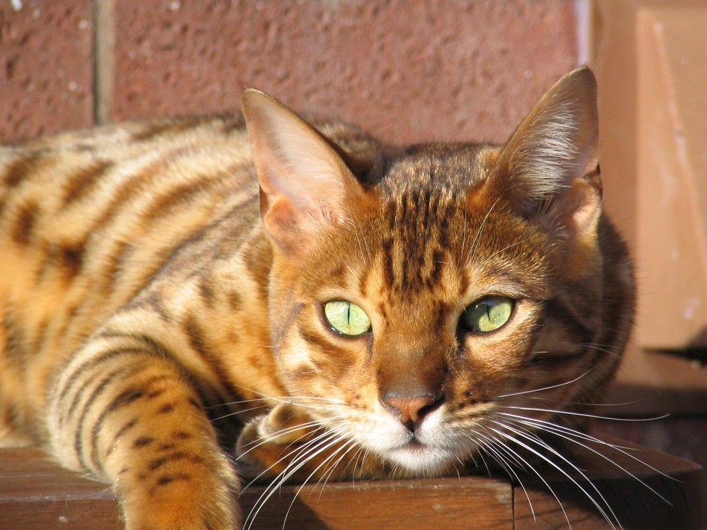 Tabby Cat Vs Bengal Cat Bengal Cats Cat Facts Bengal Cat