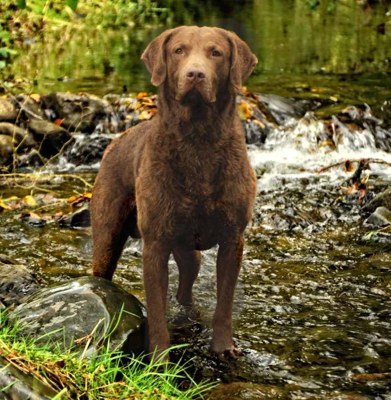 Sporting Dogs List Of All Sporting Dog Breeds Chesapeake Bay