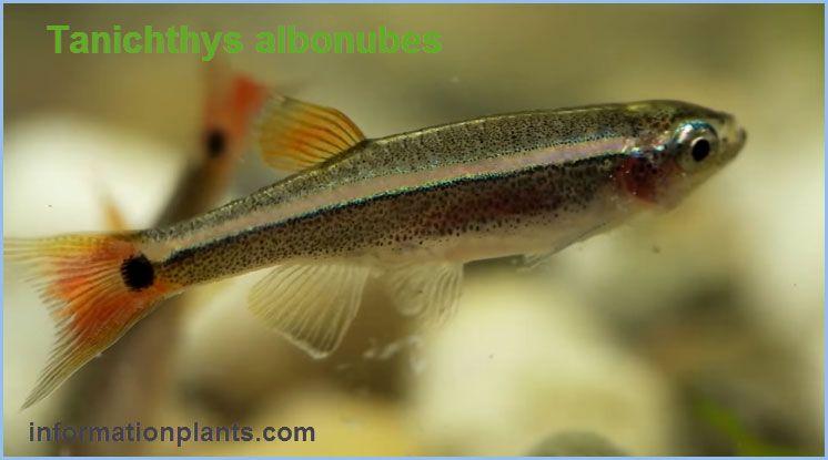 سمك الزينة ويت كلود مونتان Tanichthys سمك زينة انواع الاسماك معلومان عامه معلوماتية نبات حيوان اسماك فوائد Fish Pet Animals Pets
